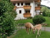 vordermoar-olang-pferde