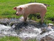 Unterplunerhof-Kiens-schwein