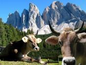 Almabtrieb in Südtirol: Ein unvergessliches Erlebnis