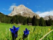 Enzian Blumen in den Almwiesen vor dem Peitler Kofel - Dolomiten