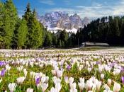 Krokuse im Frühling bei den Aferer Geislern