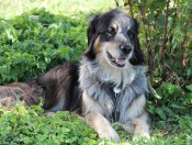 gfliererhof-voels-hofhund
