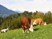 mairhof-lajen-kuehe