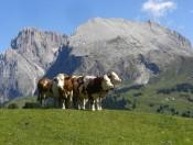 maloarhof-kastelruth-kuehe