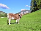 planatschhof-villnoess-kuh