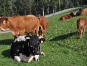 wergeserhof-seis-kuehe